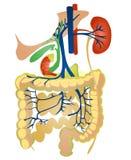 Verdauungssystem Stockbild