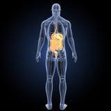 Verdauungssystem mit Anatomierückansicht Stockfotos