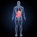 Verdauungssystem mit Anatomierückansicht Stockbilder