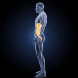 Verdauungssystem mit Anatomieseitenansicht Stockfotografie