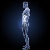 Verdauungssystem mit Anatomieseitenansicht Lizenzfreie Stockfotografie