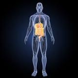 Verdauungssystem mit Anatomievorderansicht Lizenzfreie Stockfotografie