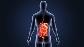 Verdauungssystem mit Körper stock video