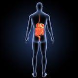 Verdauungssystem mit Körperrückansicht Lizenzfreie Stockfotos