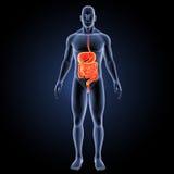 Verdauungssystem mit Körpervorderansicht Lizenzfreie Stockbilder