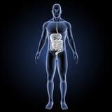 Verdauungssystem mit Körpervorderansicht Stockfotografie