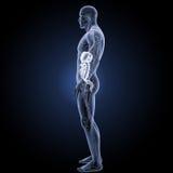 Verdauungssystem mit Kreislaufsystemseitenansicht Stockbild
