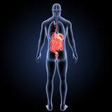 Verdauungssystem mit Organrückansicht Lizenzfreies Stockbild