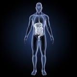 Verdauungssystem mit Organvorderansicht Lizenzfreies Stockfoto