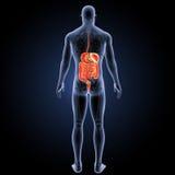 Verdauungssystem mit skeleton Rückansicht Lizenzfreie Stockfotografie