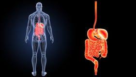 Verdauungssystemzoom mit Anatomierückansicht Stockbild