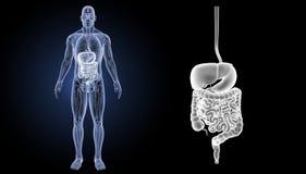 Verdauungssystemzoom mit Anatomievorderansicht Stockbild