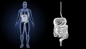 Verdauungssystemzoom mit Organvorderansicht Stockbild