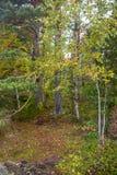 Verde amarelo Autumn Forest Backdrop imagens de stock