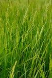 Verde ascendente próximo do verão da grama Imagens de Stock