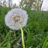Verde blanco de la naturaleza del patio trasero del diente de león Fotografía de archivo