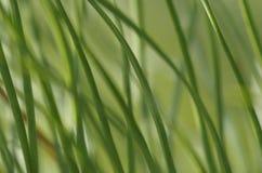 Verde bonito, agulhas foto de stock