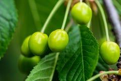 Verde bonito da cereja, não ainda maduro com folhas verdes Imagens de Stock Royalty Free