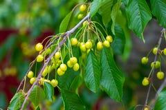Verde bonito da cereja, não ainda maduro com folhas verdes Fotografia de Stock