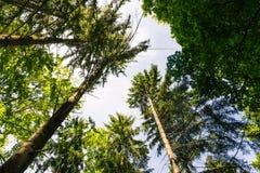 Verde caldo di giorno Forest Gree interno di albero del cielo denso di legno dei tronchi Immagine Stock