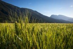 Green field of cereals in spring. Verde campo de cereal en primavera con altas montañas al fondo en el pirinieo catalán Royalty Free Stock Photo