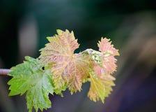 Verde ceroso e licença nova da uva de Brown fotografia de stock