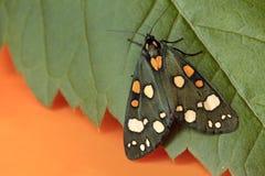 Verde colorido com círculos alaranjados e brancos nas asas de uma traça fotografia de stock