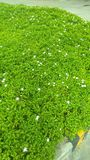 Verde com flores brancas fotos de stock royalty free