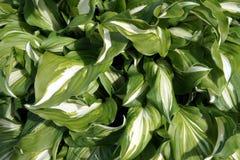 Verde con las hojas blancas, visión superior Imagenes de archivo