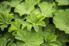 Verde con le piccole gocce di acqua Immagini Stock