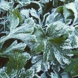 Verde congelado Fotos de archivo libres de regalías