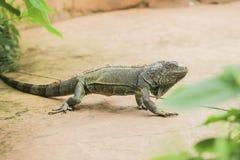 Verde d'iguane Photographie stock
