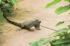 Verde d'iguane Photographie stock libre de droits