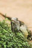 Verde d'iguane Photo stock