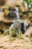 Verde d'iguane Photo libre de droits