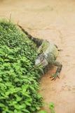 Verde d'iguane Image libre de droits