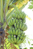 Verde da banana Foto de Stock