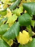 Verde da folha fotografia de stock
