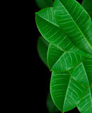 Verde da folha Fotos de Stock Royalty Free
