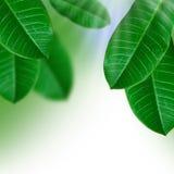 Verde da folha Foto de Stock Royalty Free
