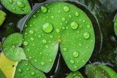 Verde da folha Imagem de Stock