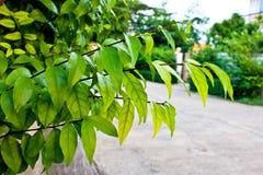 Verde da folha Imagens de Stock