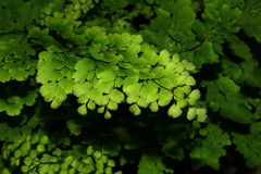 Verde da folha Fotografia de Stock Royalty Free
