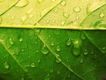 Verde da gota da folha Imagens de Stock Royalty Free