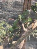 Verde da iguana Foto de Stock Royalty Free