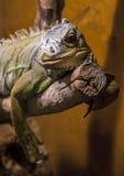 Verde da iguana (iguana da iguana) Imagens de Stock
