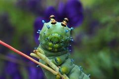 Verde da lagarta Foto de Stock