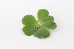 Verde da ova Fotografia de Stock Royalty Free