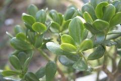 Verde da planta do ovata da planta ou do crassula do jade imagens de stock royalty free