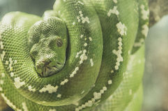 Verde da serpente Fotografia de Stock Royalty Free